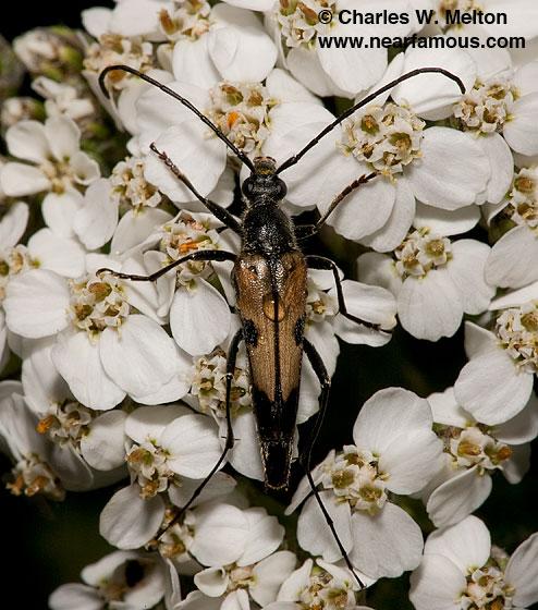 Cerambycid - Etorofus propinquus