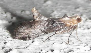 Moth # 07-315 - Toripalpus trabalis