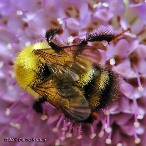Bee ID - Bombus perplexus - female