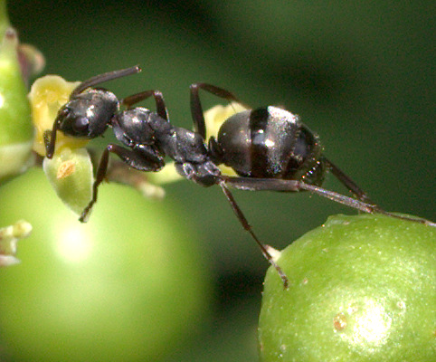 Black Ant [=Formica? subsericea??] ID Request - Formica subsericea