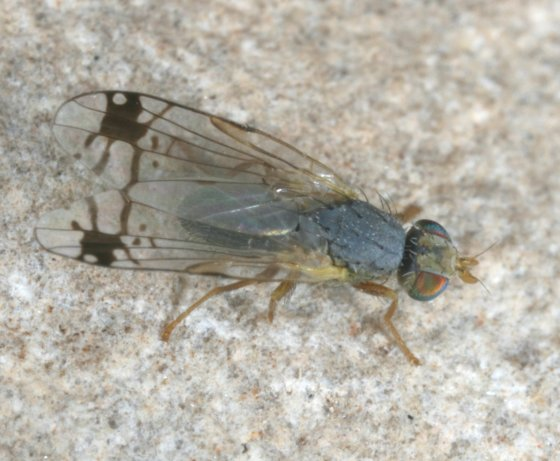 fly 39 - Trupanea radifera - male