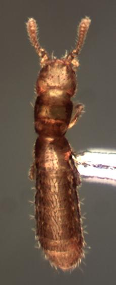 Leptotyphlinae - female