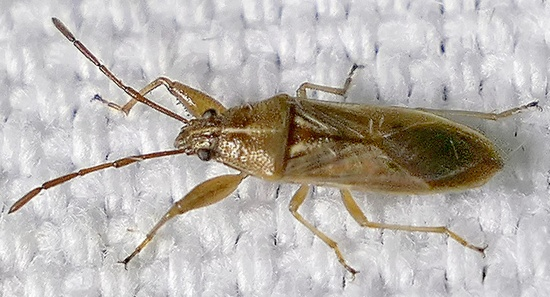 bug - Oedancala crassimana