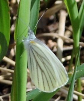 Mustard White - Pieris oleracea