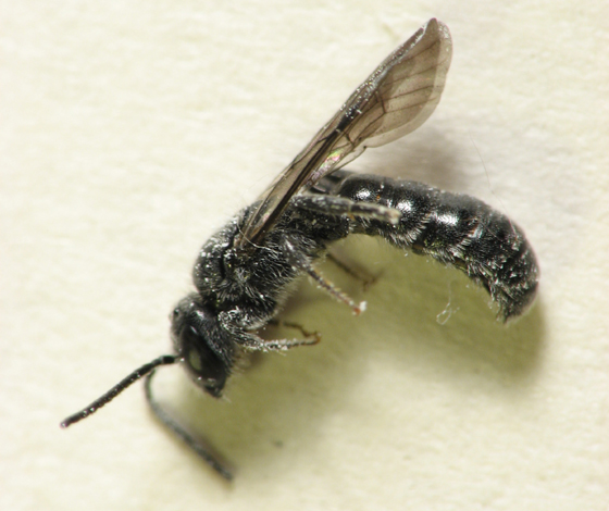 What is it? - Chelostoma philadelphi - male