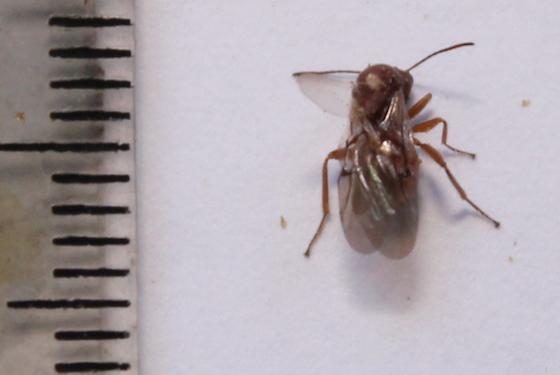 Dorsal view - Andricus quercuscalifornicus - female