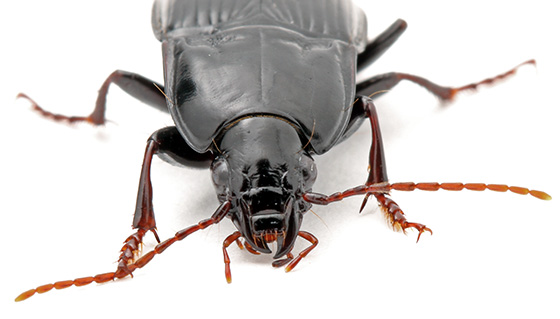 carabids in house - Pterostichus