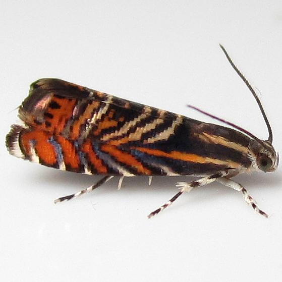 Psychedelic Jones Moth - Hodges#3751 - Thaumatographa jonesi