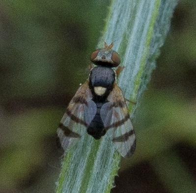 possible Urophora sirunaseva - additional California site - Urophora sirunaseva