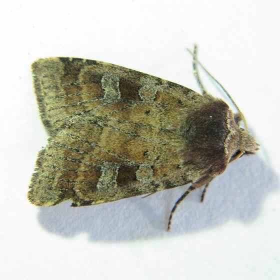 Diarsia calgary - Hodges #10916 - Diarsia calgary