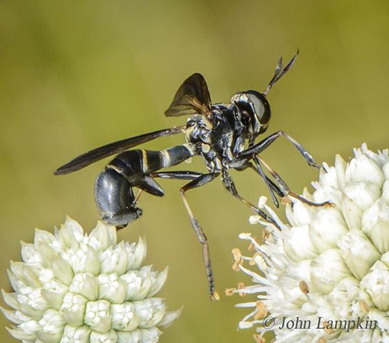 Conopidae ID request - Physoconops bulbirostris - female