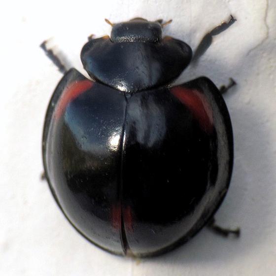 Black Ladybug? - Axion tripustulatum