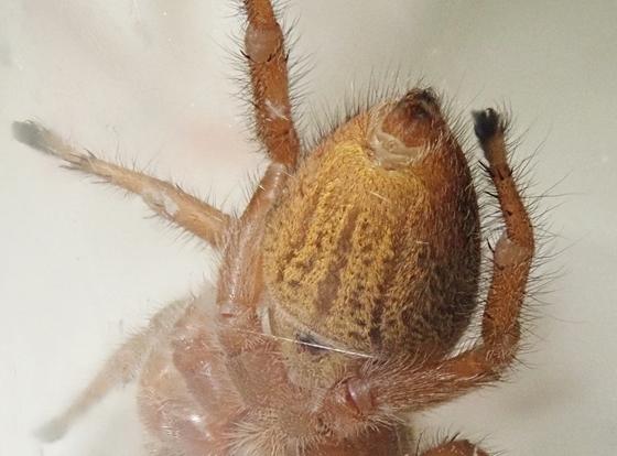 Phidippus pius - female