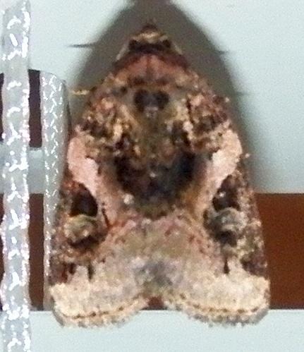 Moth 062715 ID - Pseudeustrotia carneola