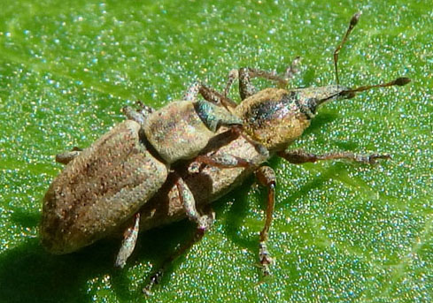 mating weevils - Listronotus - male - female