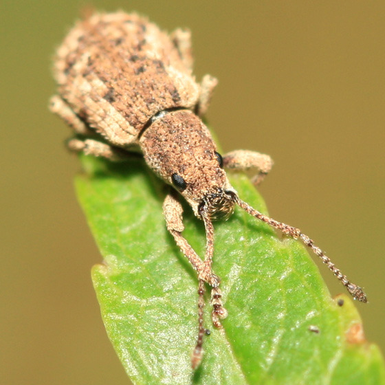 Broad-nosed Weevil - Pseudoedophrys hilleri