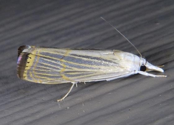 Graceful Grass-veneer - Parapediasia decorellus