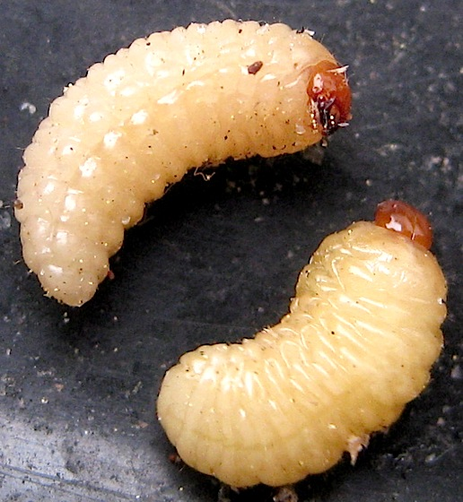 Larvae from acorns - Curculio