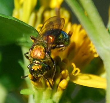 Sweat Bee on Goldenrod - Augochlora pura - female