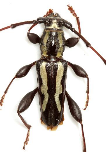 Ornithia mexicana mexicana (Sturm) - Ornithia mexicana - male