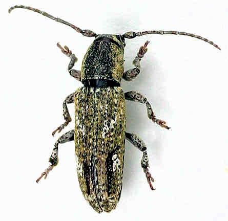 Cerambycidae - ? - Adetus brousi