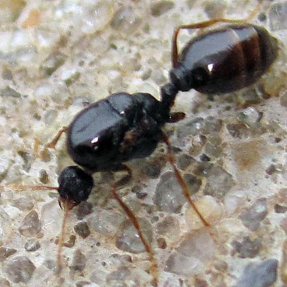 Pavement Ant (Tetramorium immigrans)
