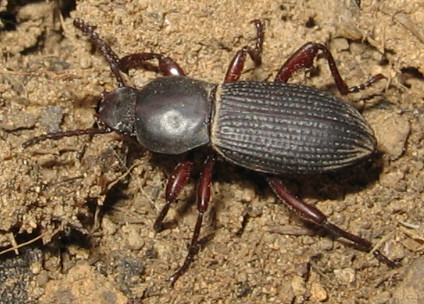 mystery beetle - Argoporis
