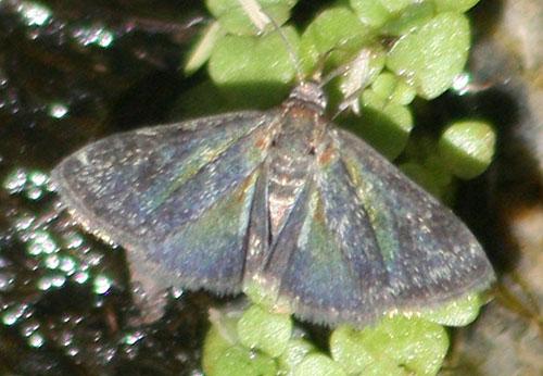 flashy moth - Heliothelopsis unicoloralis