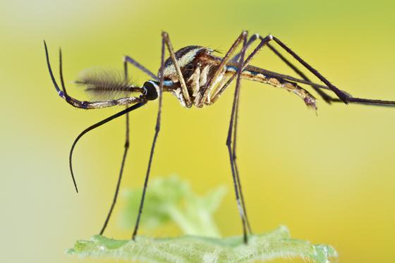 mosquito - Toxorhynchites rutilus