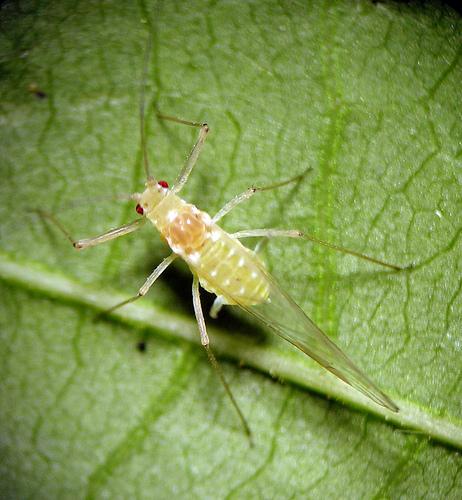 Drepanosiphum oregonensis