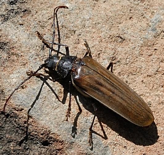 Trichocnemis spiculatus (Ponderous Borer)? - Trichocnemis pauper