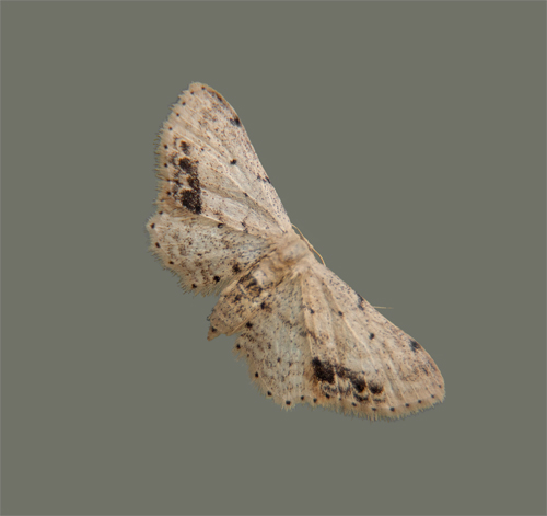 A small brown and beige moth - Idaea dimidiata