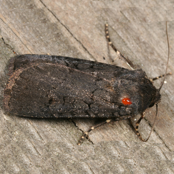 moth with a mite - Euxoa velleripennis