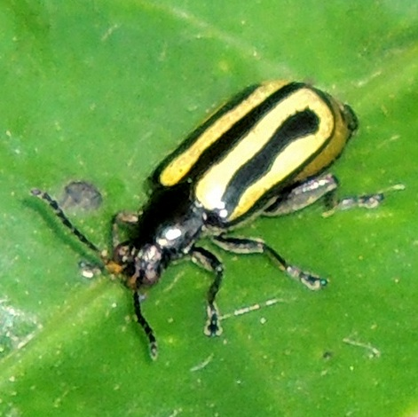 unkn beetle - Agasicles hygrophila