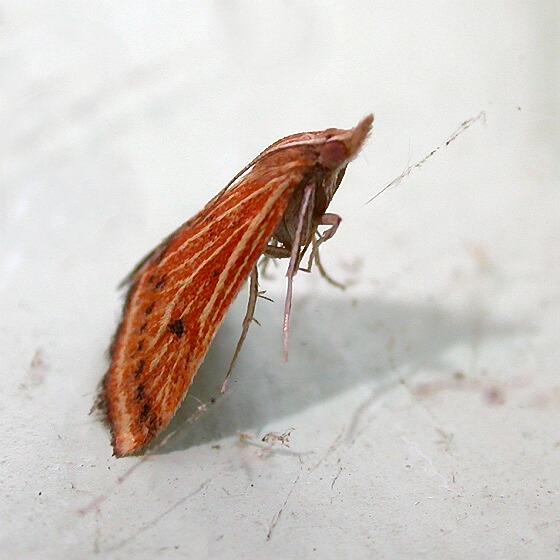 Microtheoris ophionalis