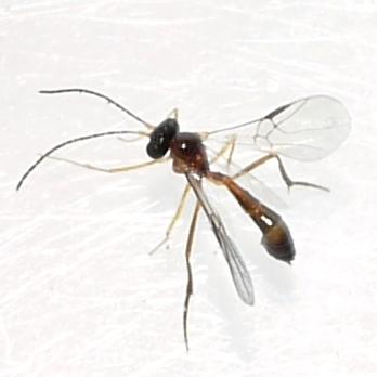 wasp - Hybrizon - female