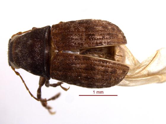Anthribidae 3 - Piesocorynus mixtus