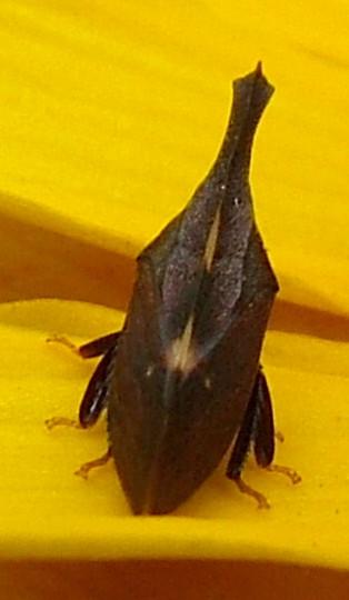 Hopper - Enchenopa binotata