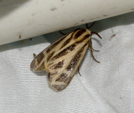 Tiger Moth? - Apantesis carlotta-nais-phalerata-vittata