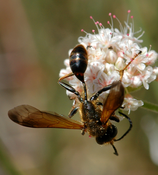 Grass-carrying wasp
