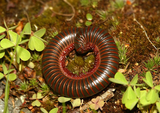 Millepede - Narceus americanus-annularis-complex