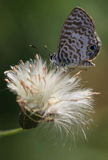 Cassius Blue Butterfly - Leptotes cassius