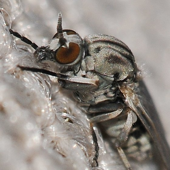 Fly - Simulium - female