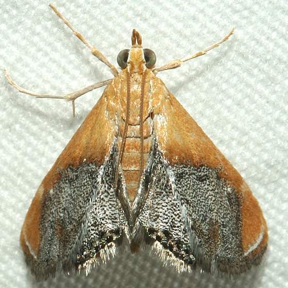 Moth - Chalcoela iphitalis