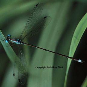 Blue-striped Spreadwing, first (?) Texas record - Lestes tenuatus - male