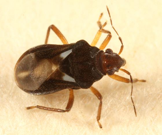 Velvet Water Bug - Hebrus burmeisteri