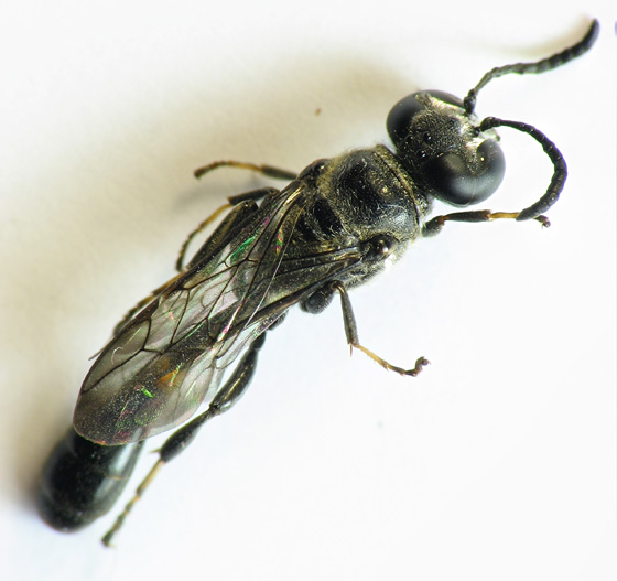 Adult wasp from tube nest  - Trypoxylon collinum