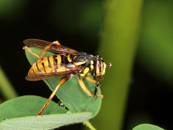 Bee Mimic - Spilomyia alcimus