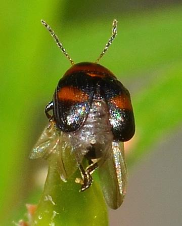 Chrysomelid? (Bruchinae?) - Lexiphanes