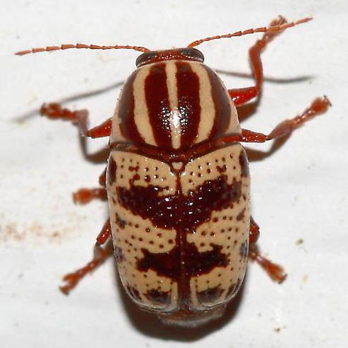 Beetle - Cryptocephalus leucomelas